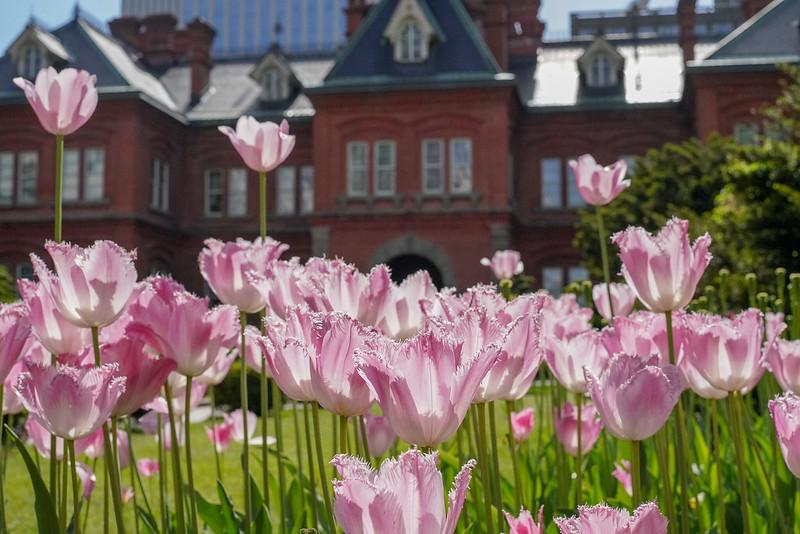 札幌赤レンガ庁舎と花