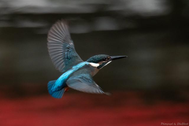 20180812-kingfisher-DSC_7352
