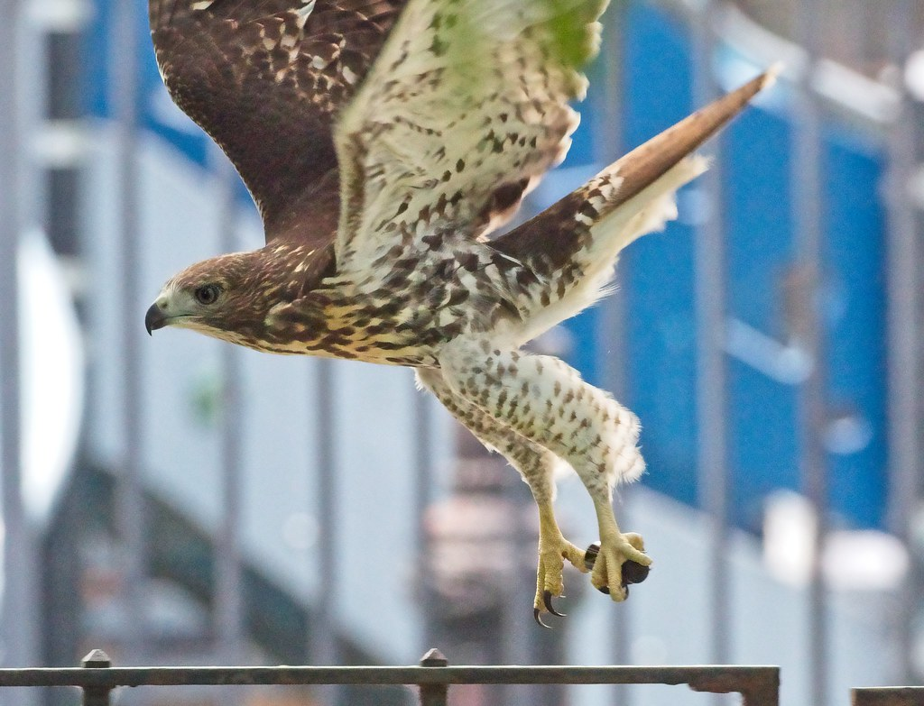 Fledgling hawk takes off with a medicine bottle