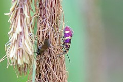 Micropterigidae