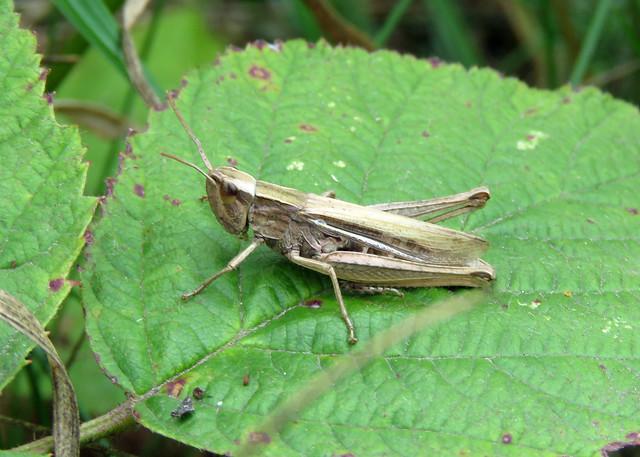 Lesser Marsh Grasshopper - Chorthippus albomarginatus