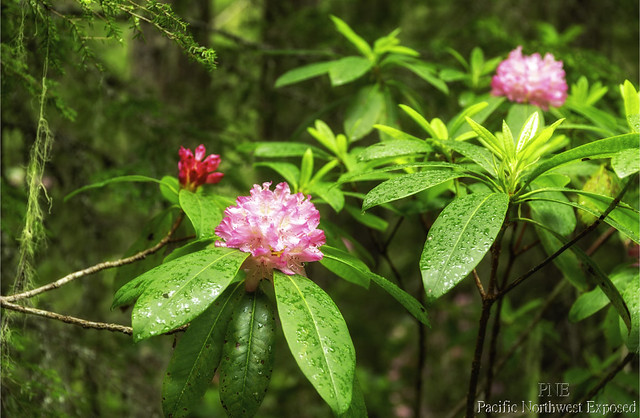Rhododendron 0677
