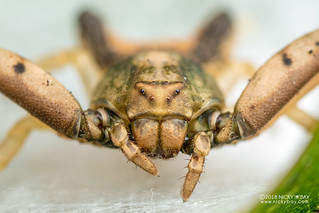 Crab spider (Thomisidae) - DSC_7904b