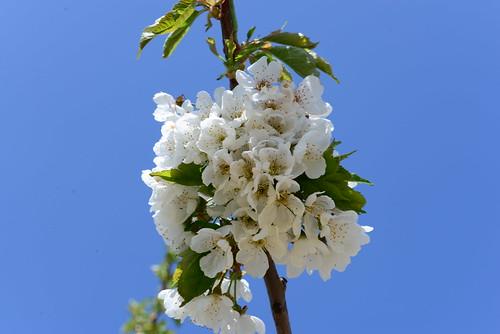 DAV_0677 Cherry blossoms