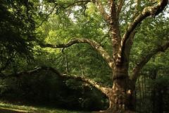 Platane bicentenaire de Peyrassoulat (version été) - Peyrassoulat bicentenary plane tree (summer edit) - Photo of Les Salles-Lavauguyon