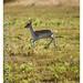 Fallow Deer Fawn / Dama dama - Taken at Bradgate Park Northwest of Leicester - UK