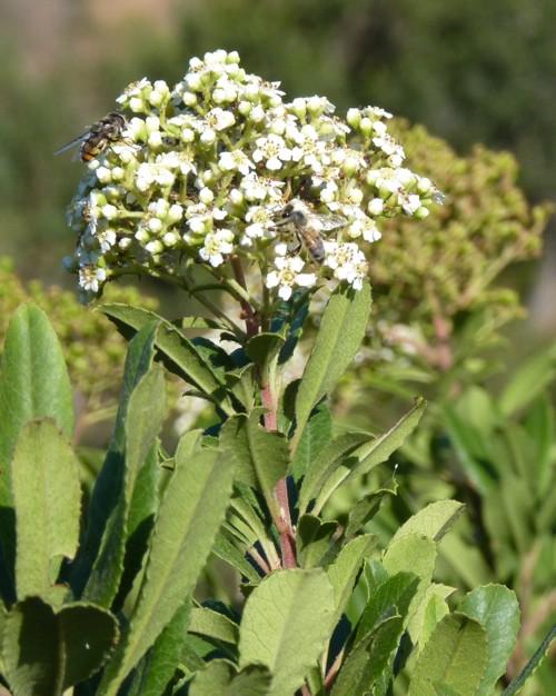 Heteromeles salicifolia 43960677951_147cf2a770_o