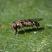 Hoverfly sp. - Syritta pipiens