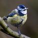 Blue Tit RSPB Silverdale F00315 D210bob  DSC_0413