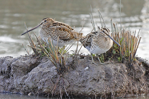 SNIPE ...Slimbridge.