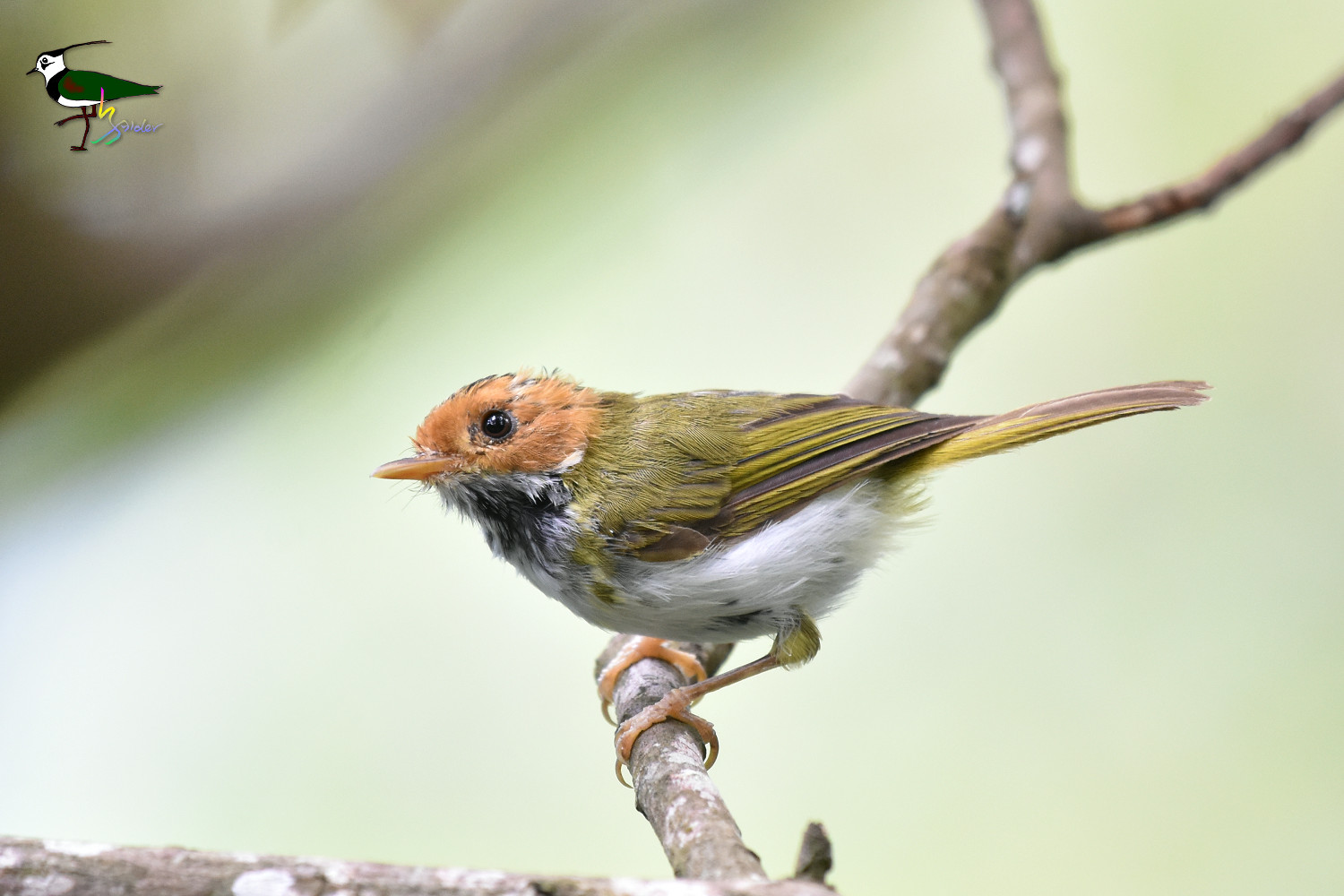 White-throated_Flycatcher_Warbler_2273
