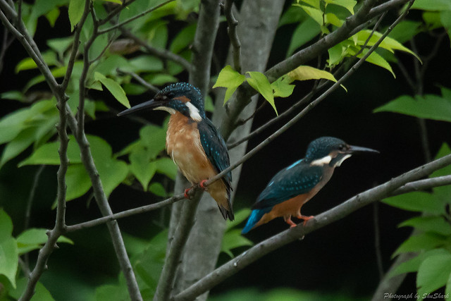 20180812-kingfisher-DSC_7405