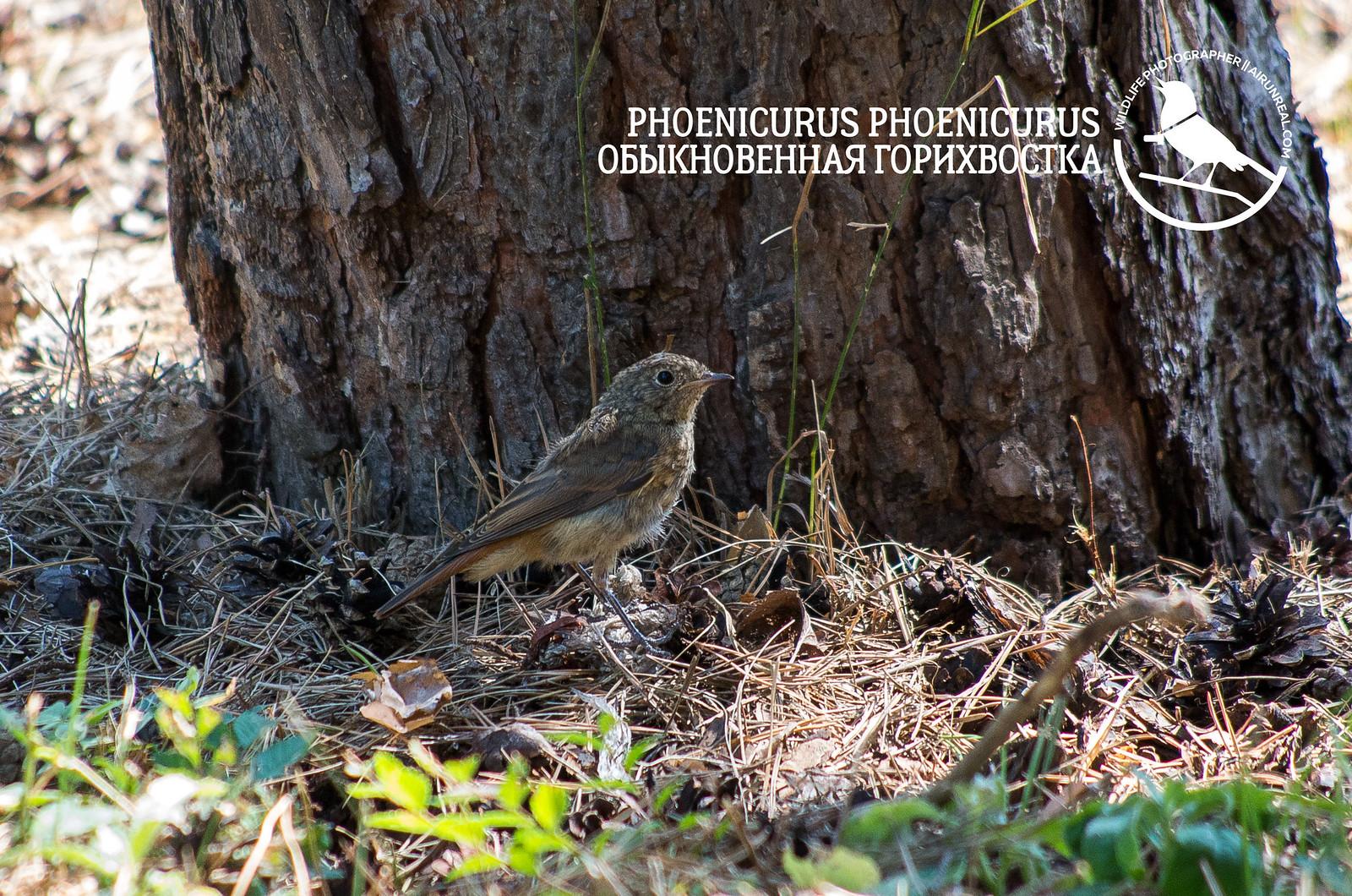 Phoenicurus phoenicurus // 20180730
