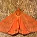 orange virbia (Virbia aurantiaca) by corvid01