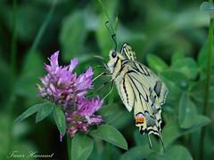 European Swallowtail Papilio machaon
