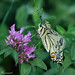 European Swallowtail Papilio machaon