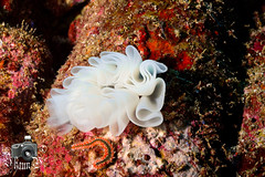 Bearded Fireworm & Corals