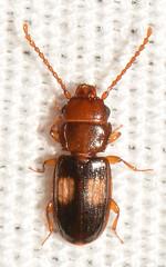 Laemophloeus