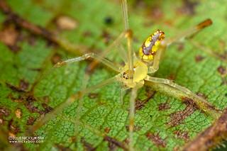 Mirror spider (Thwaitesia sp.) - DSC_7522