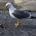 Lesser Black-backed Gull  8