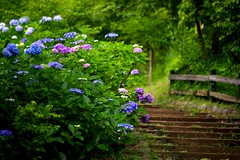 The Road with Hydrangea