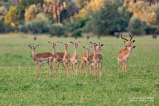 Impala (Aepyceros melampus) - DSC_3741
