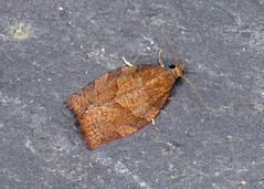 49.026 Dark Fruit-tree Tortrix - Pandemis heparana