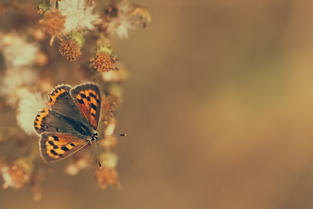 Small copper Top, Fujifilm X-T2, XF90mmF2 R LM WR