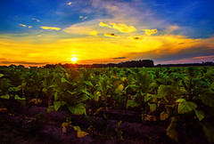 Tobacco Sunrise
