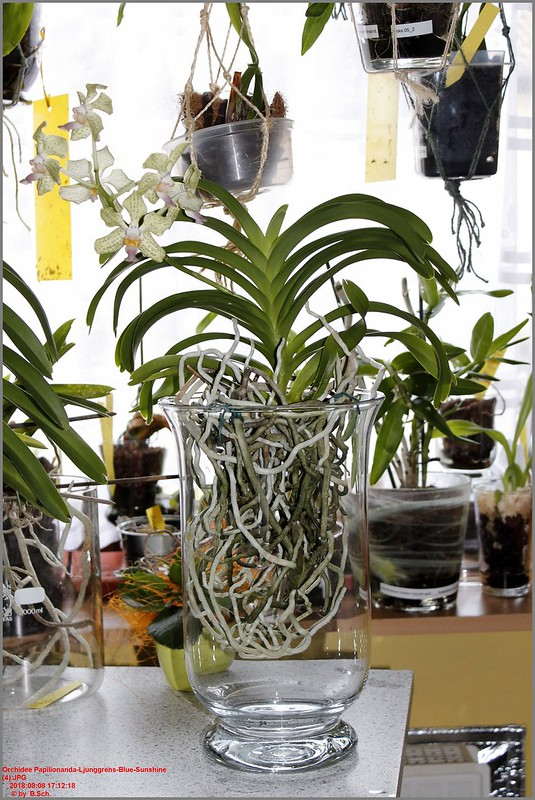 Orchideen-Neuzugang 2 - Seite 6 43209731514_9a49a4daa9_c