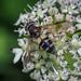 Hoverfly - Leucozona laternaria