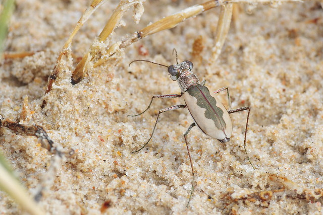 White-cloaked Tiger Beetle, Canon EOS 7D, Canon EF 200mm f/2.8L II