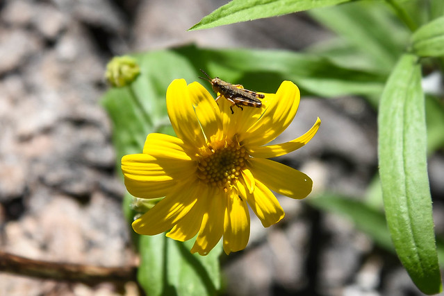 Grasshopper on wildflower