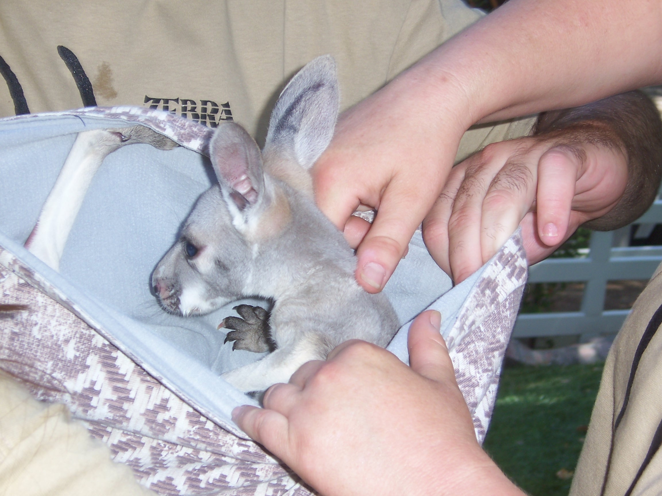 A baby kangaroo. Photo taken on May 1, 2004.