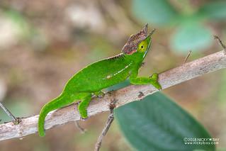Canopy chameleon (Furcifer willsii) - DSC_9629