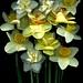 59067.01 Narcissus
