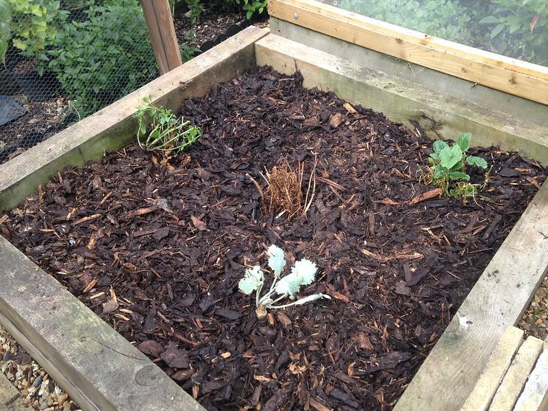 Perennials: Sea beet, Good King Henry, Sea Kale and a (dead) English mace