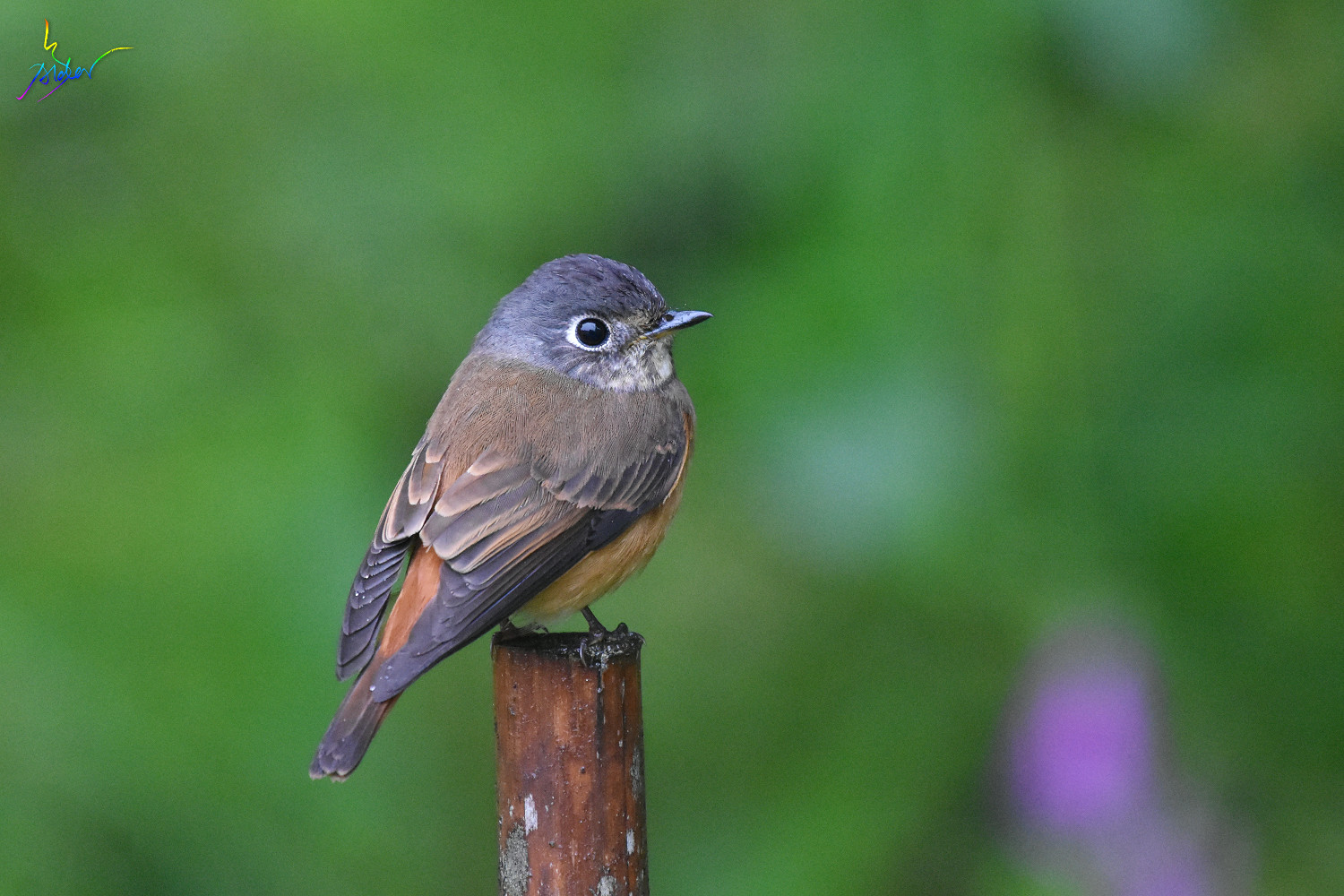Ferruginous_Flycatcher_6986