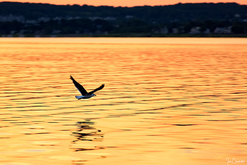 bird seagull wildlife outdoors flight bay lake ocean sea reflection dawn sunrise sunset goldenhour dof nature