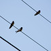 Young swallows on telephone lines