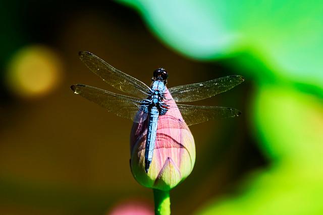 Dragonfly Orthetrum albistylum on, Nikon D750, Sigma 70-200mm F2.8 EX DG OS HSM