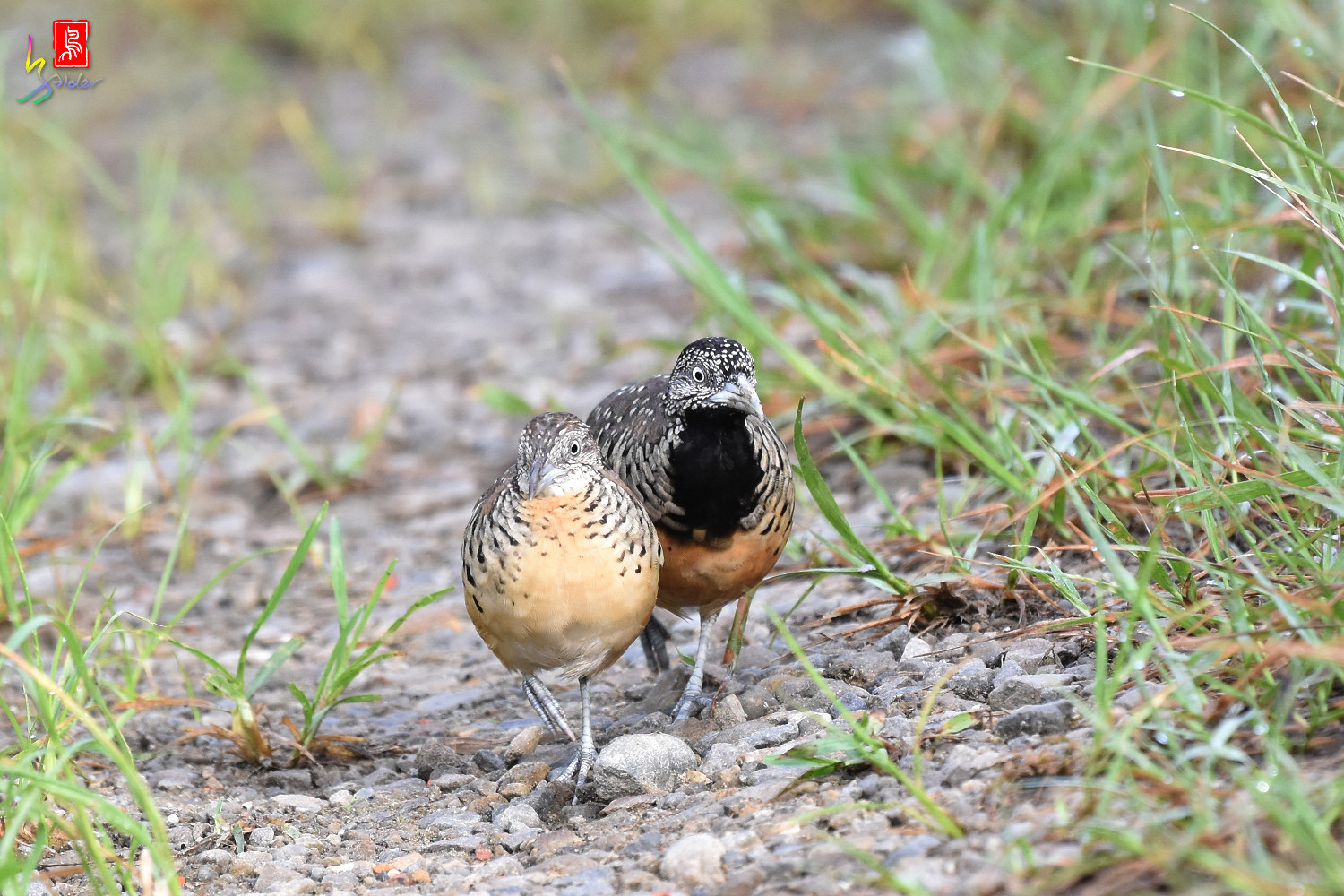 Barred_Buttonquail_7184