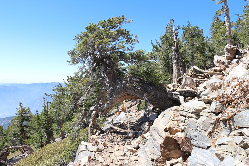 Big old Limber Pine Tree high on the San Bernardino Peak Trail