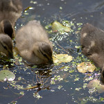 Baby ducks on the canal - 3