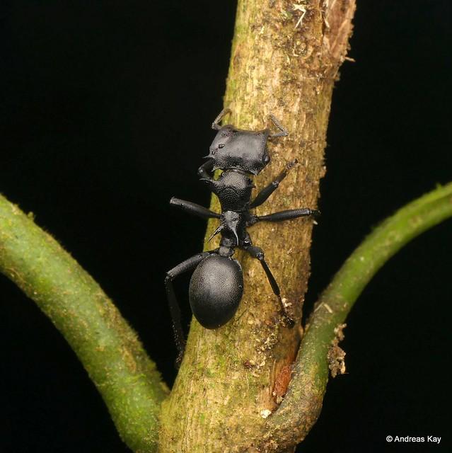 Turtle ant, Cephalotes atratus