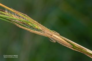 Grass running spider (Tibellus cf. kibonotensis) - DSC_3479
