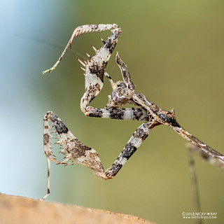 Cryptic mantis nymph (Sibylla pretiosa) - DSC_3464