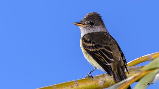 Hammomd's Flycatcher