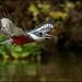 Ringed Kingfisher (Megaceryle torquata) by Glenn Bartley - www.glennbartley.com