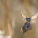 Common Blue-3005